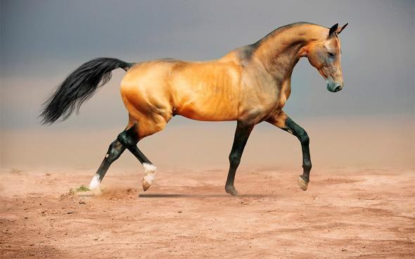 арабская лошадь кохейлан сиглави