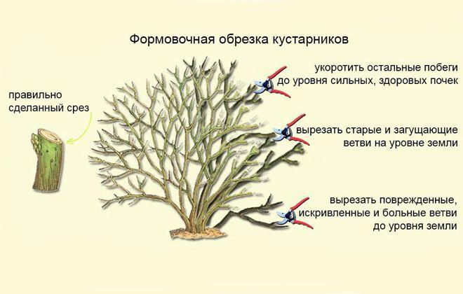 тамарикс обрезка куста