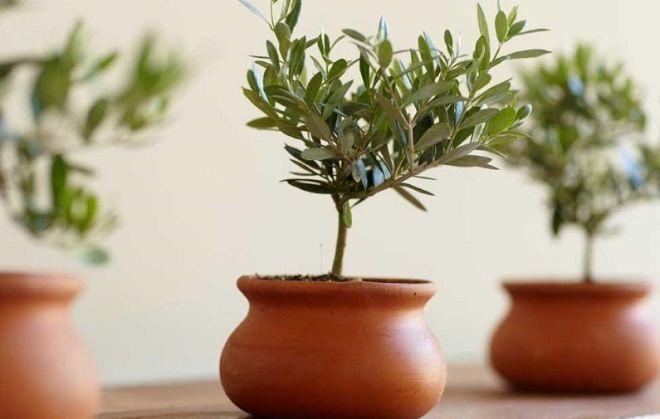 описание оливкового дерево