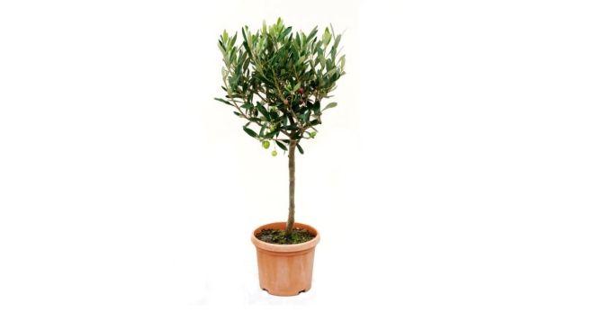 горшок для оливкового дерева