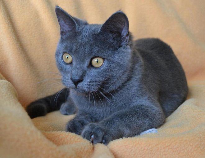 Картезианская кошка шартрез