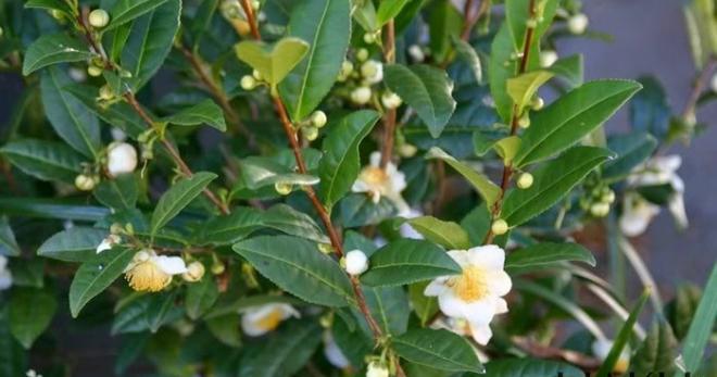 как выглядит чайное дерево
