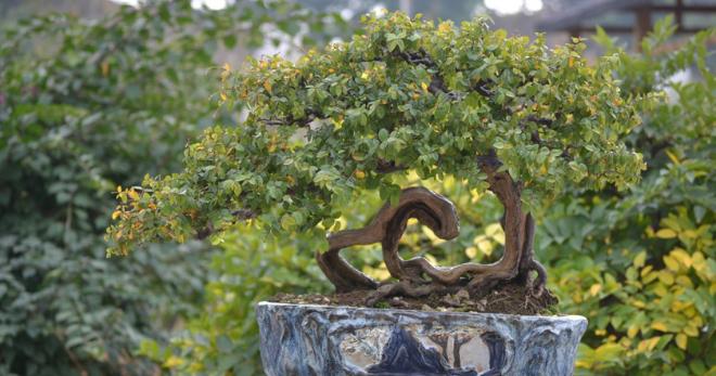 обрезка чайного дерева