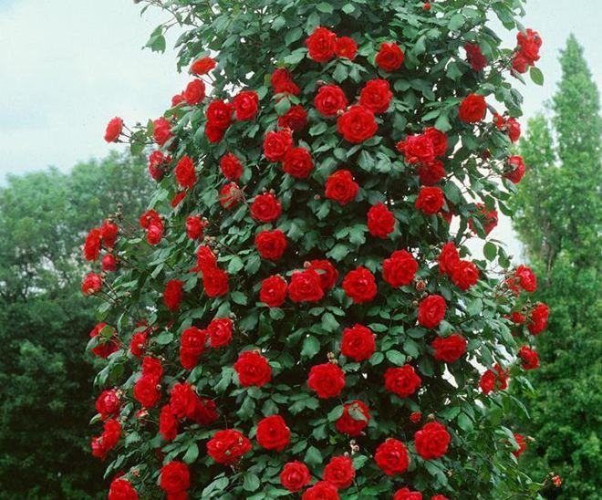 сантана роза фото имеет значение