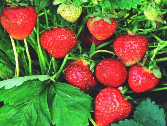 сорта клубники для домашнего выращивания всемирный