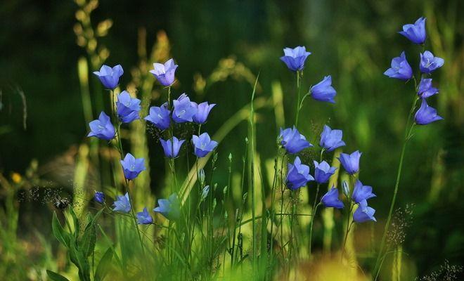 описание цветка колокольчик