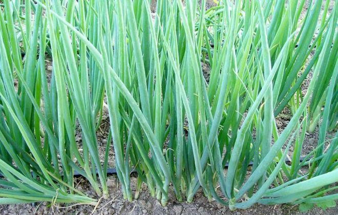 через сколько всходят семена лука батуна