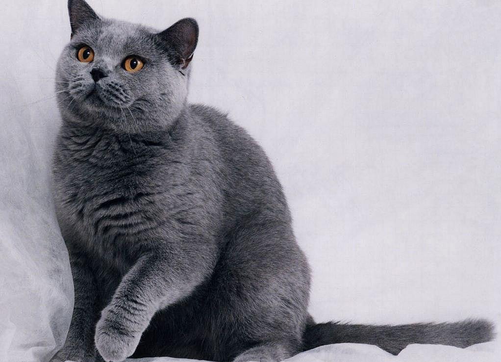 мальчиков фото британцев котов
