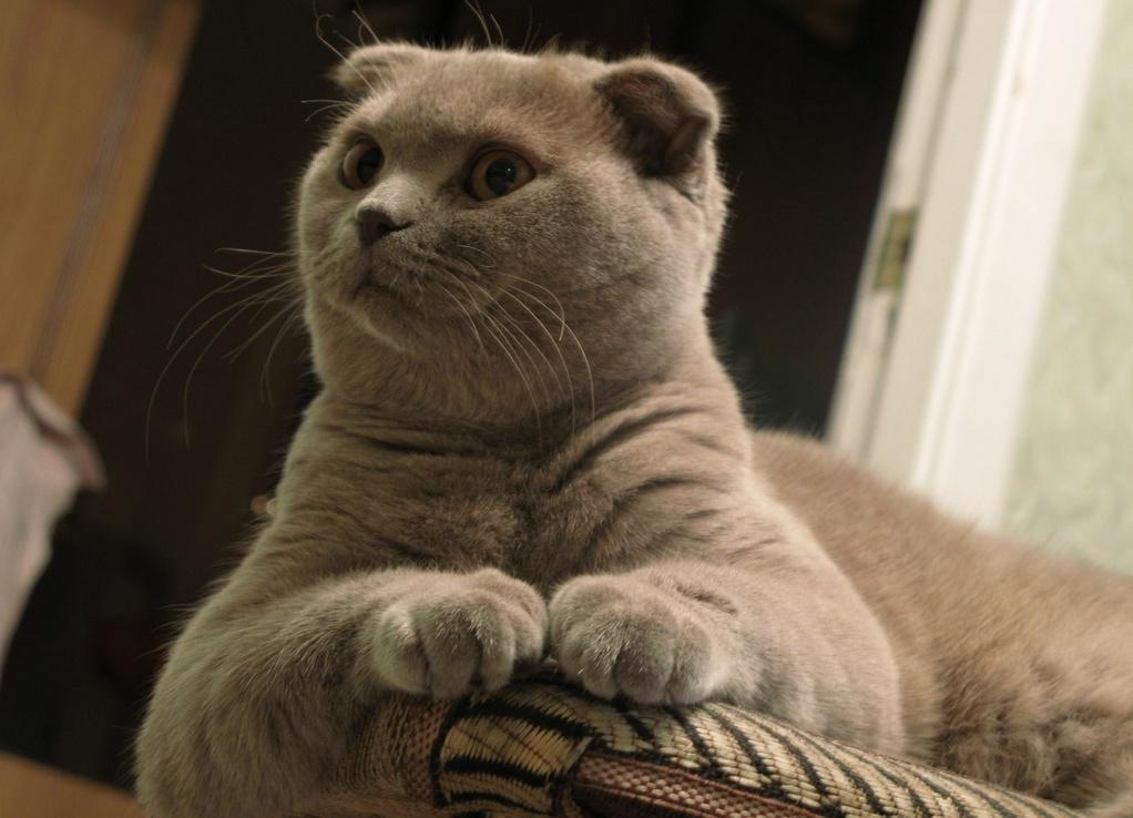 Забавные вислоухие коты фото нашем сайте