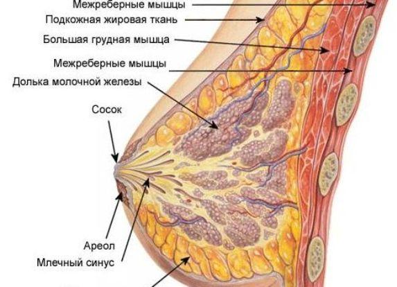 Картинка женской полового органа и груди, фото анальных санитарочек