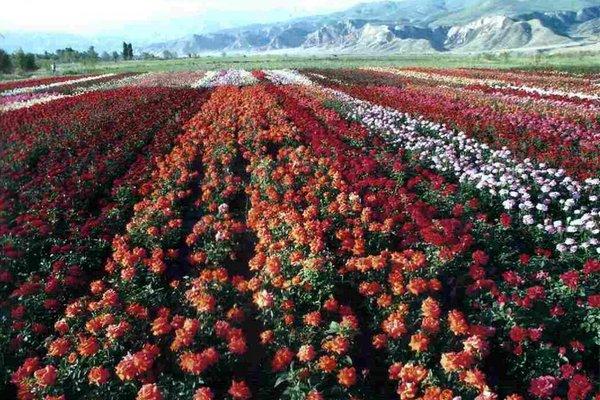 роз фото эквадора плантаций