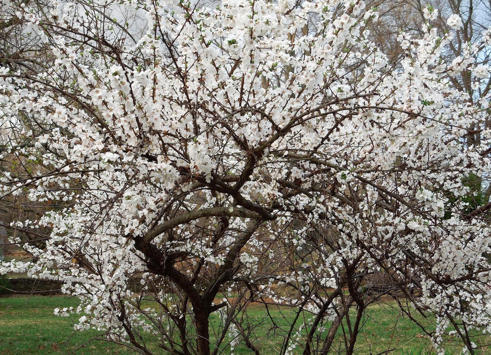 Чем подкормить вишню весной чтобы плодоносила во время цветения удобрение