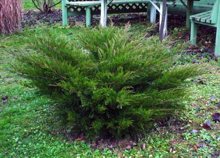 Как посадить можжевельник осенью?
