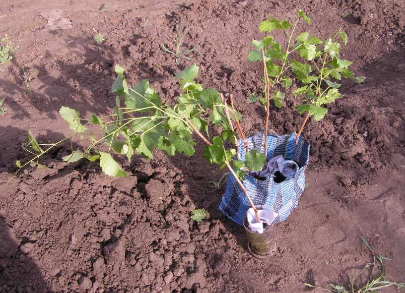 Как сажать виноград черенками осенью