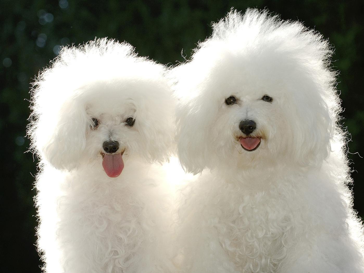 Клички имена собак для Пуделей