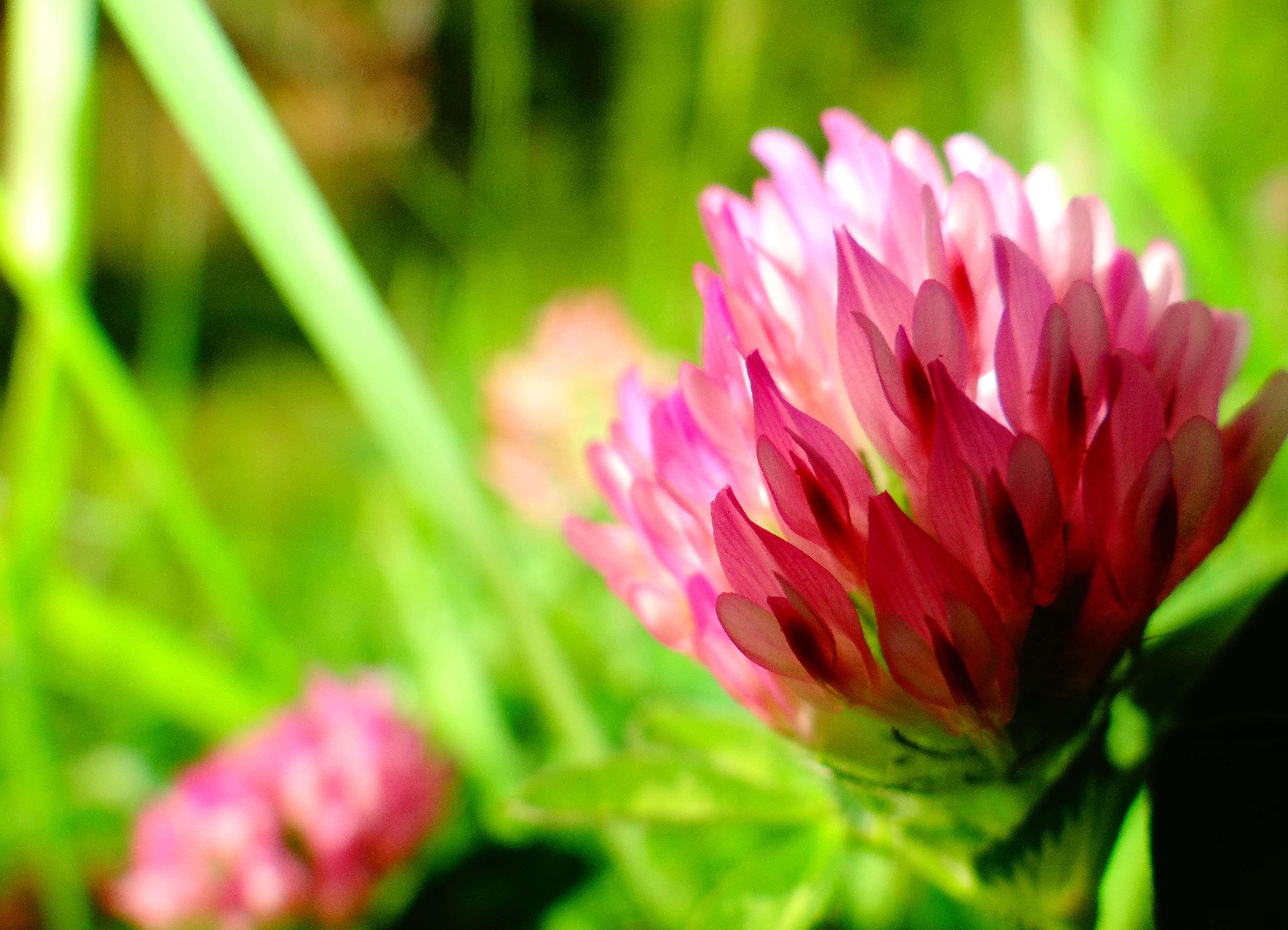 Уникальные свойства травы и клевера лугового
