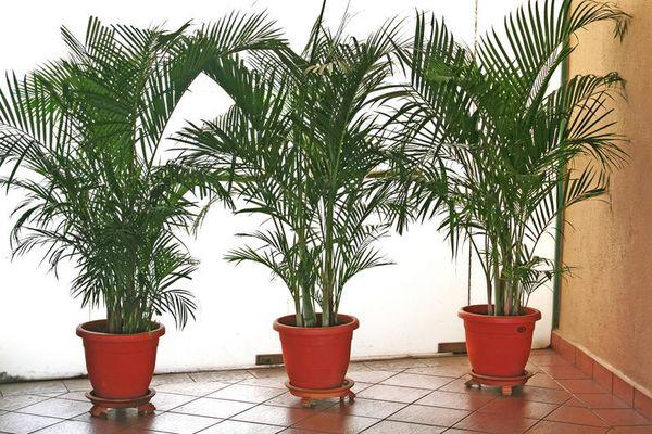 Хамедорея элеганс польза и вред — Цветы365