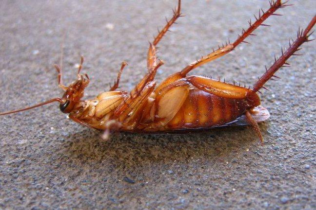 Почему тараканы боятся борной кислоты