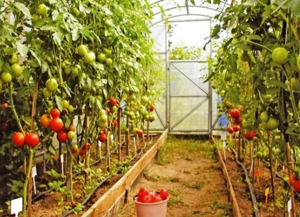 калий для томатов в теплице