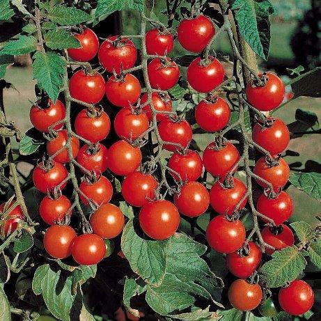 Декоративные помидоры в горшке уход