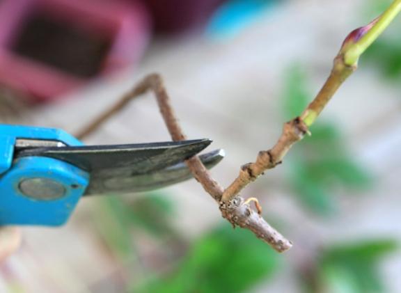 Как размножить девичий виноград? Виноград девичий