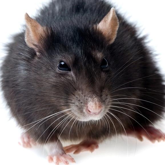 Сонник Мышь черная приснилась к чему снится во сне Мышь черная