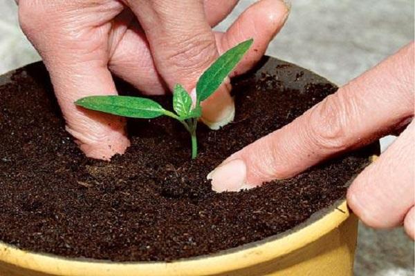 можно ли 3 апреля пикировать рассаду помидор