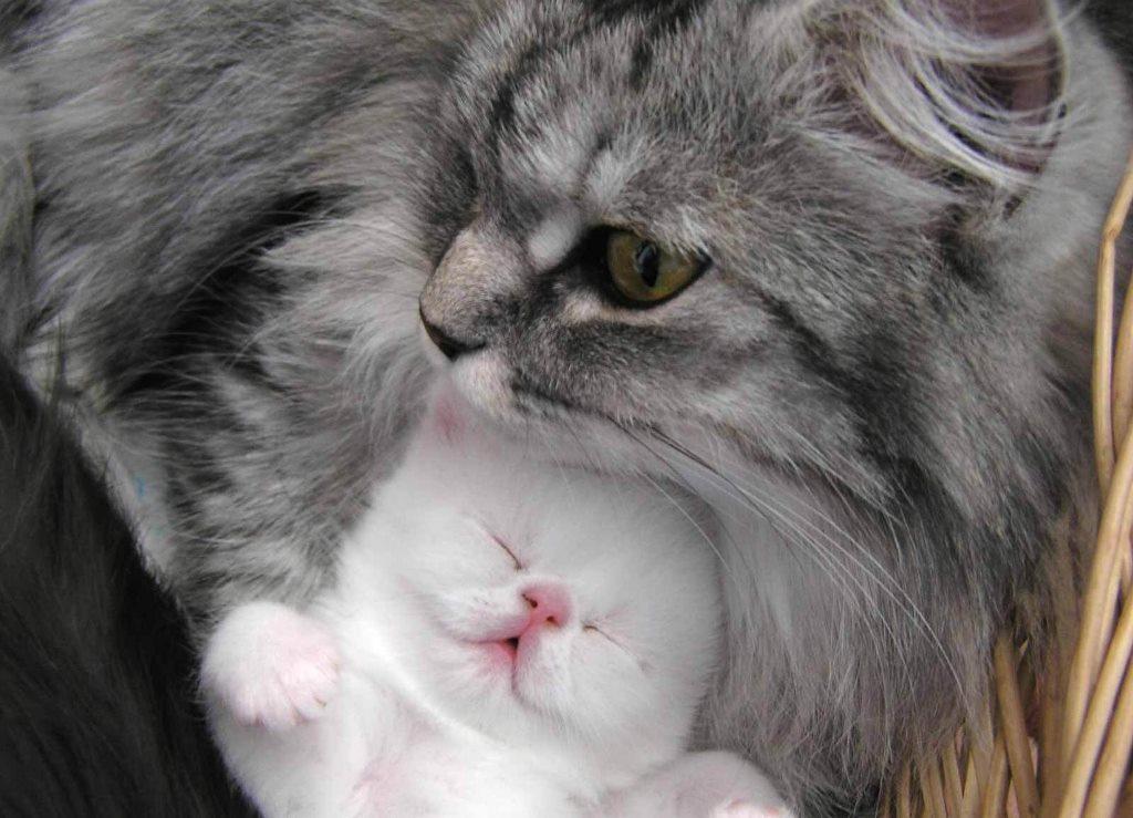 Как приручить дикую кошку или котёнка к своим рукам. Как приучить кошку к рукам: полезные советы Как приучить кота к рукам британца