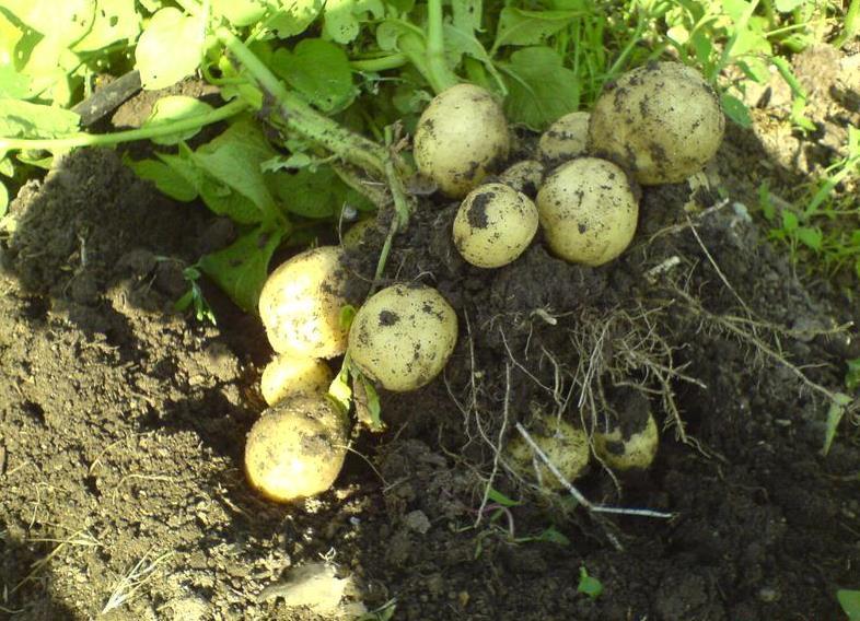 Картофель Гала: характеристика и описание сорта