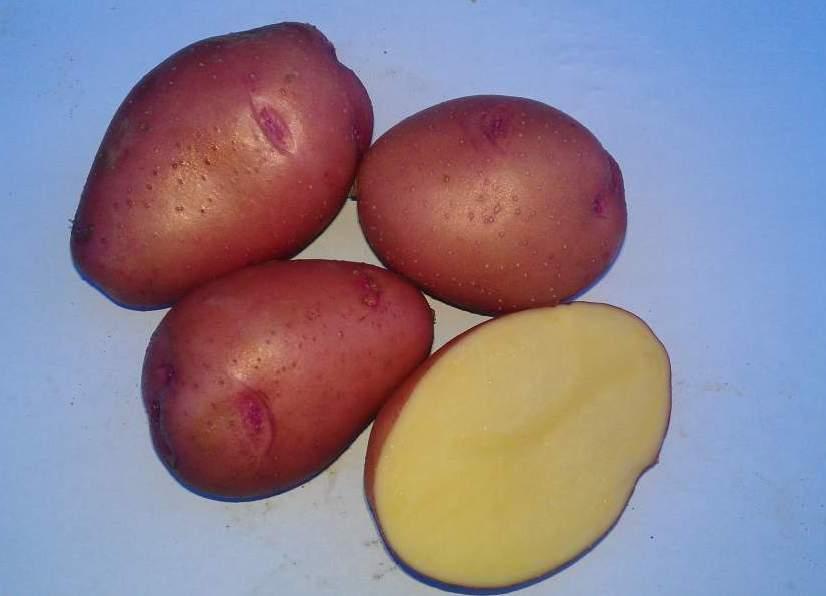 Картофель Розара: описание сорта, полноценный уход от посадки до сбора урожая 6