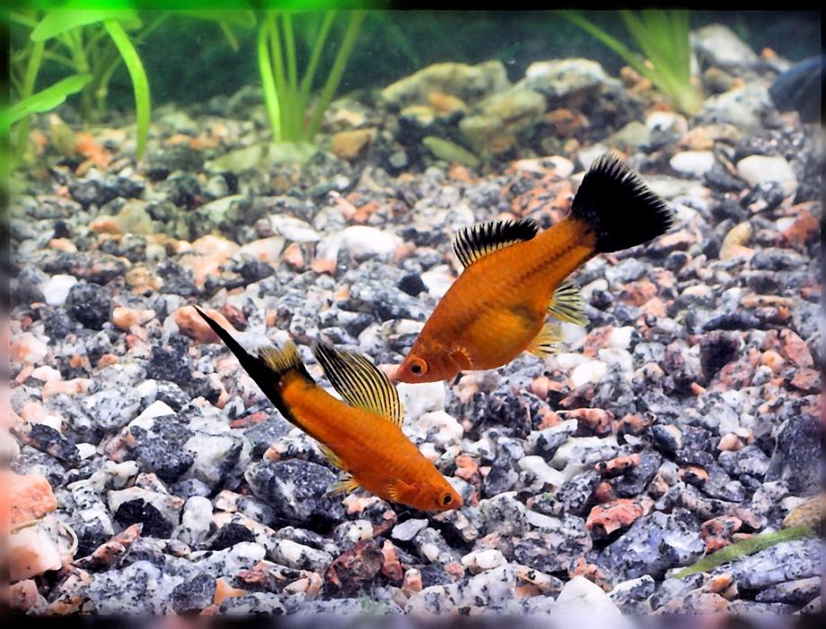 Как размножаются меченосцы в аквариуме