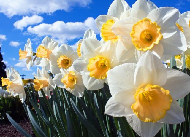 Как пересадить нарциссы весной