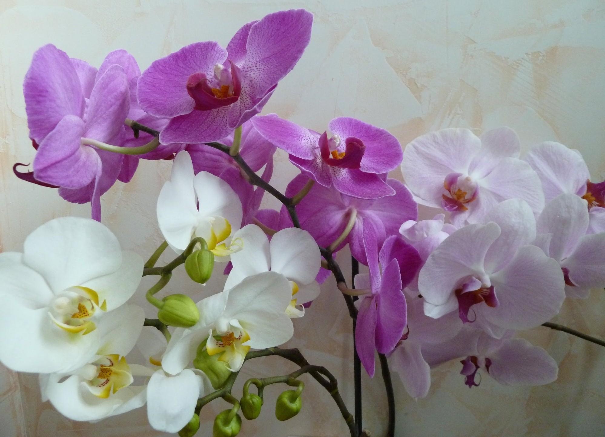 Как засыхают цветы орхидеи