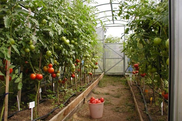 когда начинать выращивать рассаду помидор для теплицы