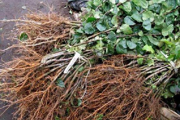 Какие удобрения вносить под плодовые деревья и кустарники 2