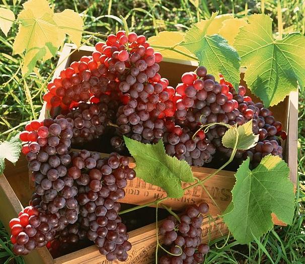 Как посадить виноград 95