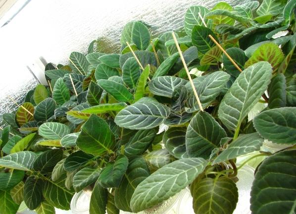 Глоксиния как вырастить из листа