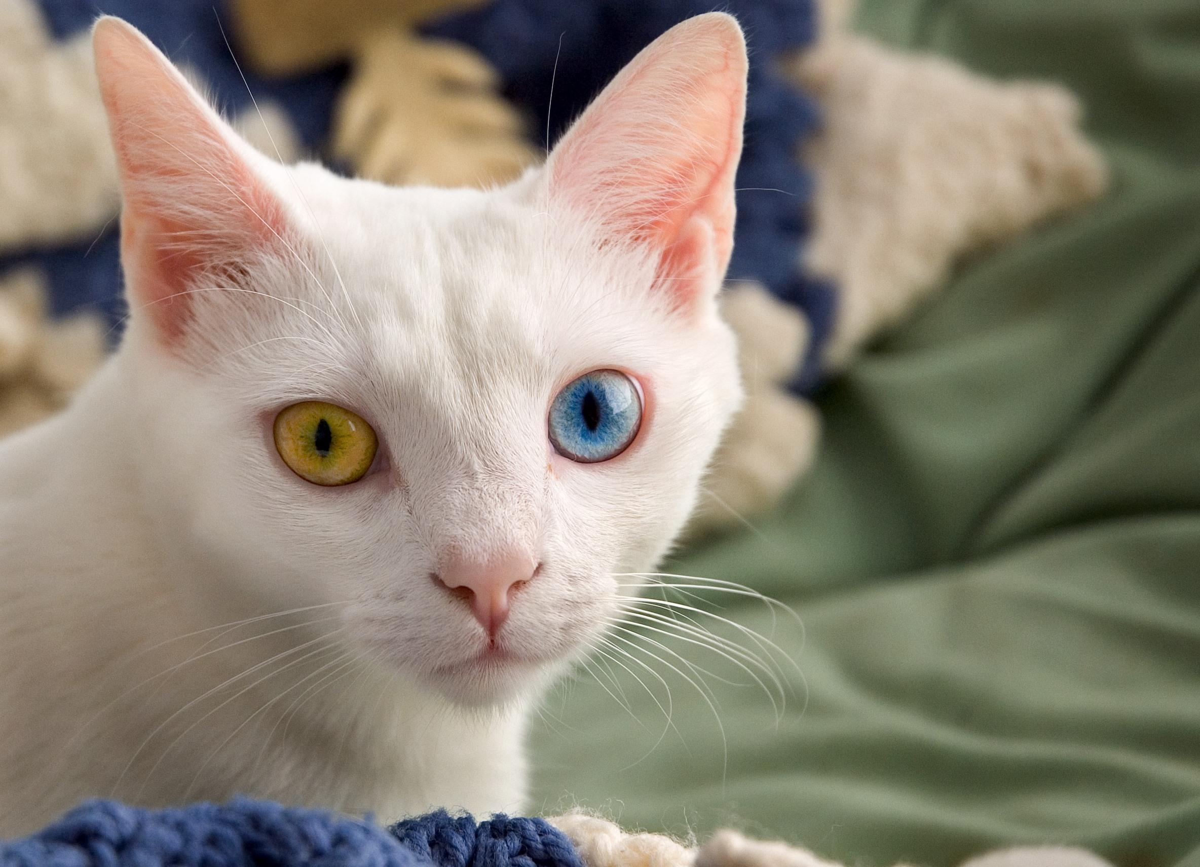 Самые популярные породы кошек ТОП-10