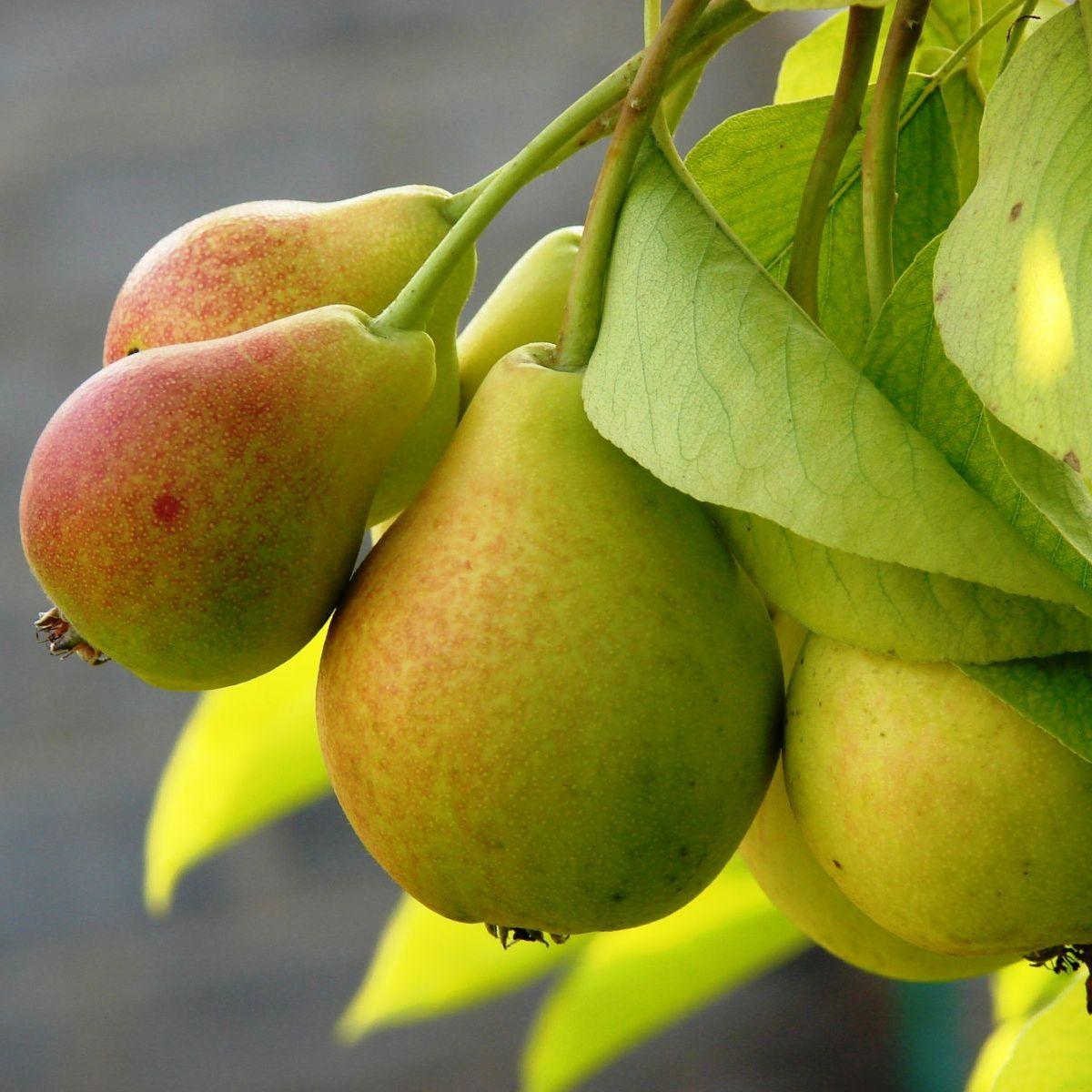 Сколько калорий в груше свежей и вяленой, ее полезные свойства для здоровья