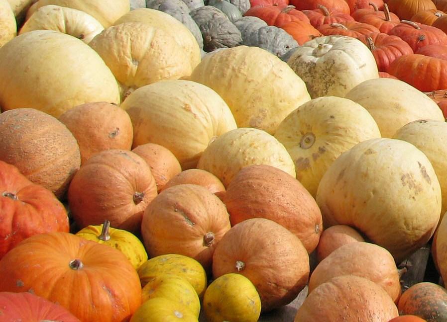 Как отличить тыкву кормовую от пищевой