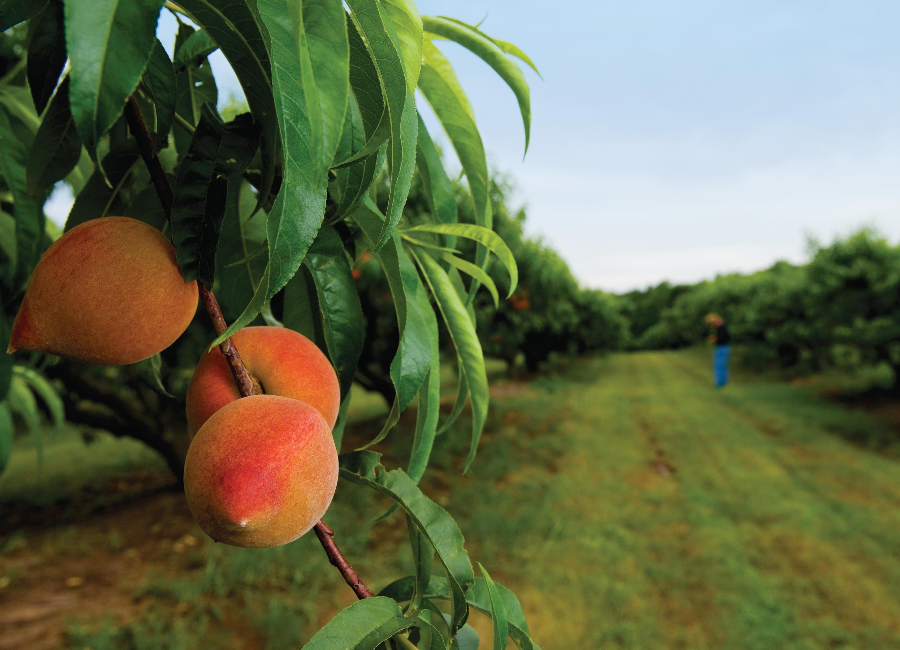 В чем заключается уход за персиком весной