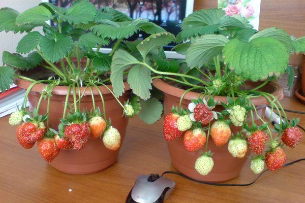 Выращивать клубнику в квартире оказалось очень просто
