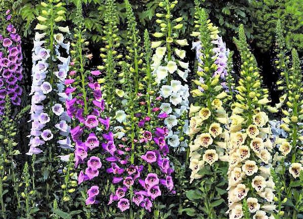 как вырастить из семян многолетние цветы