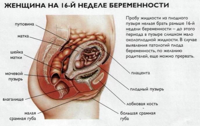 фото плода 16 неделя беременности
