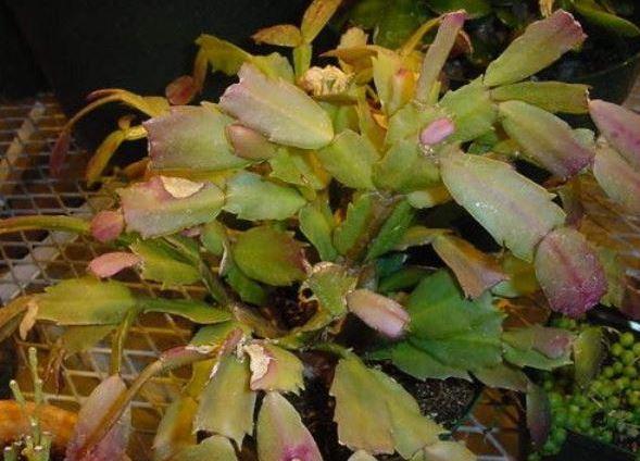 декабрист желтеют листья