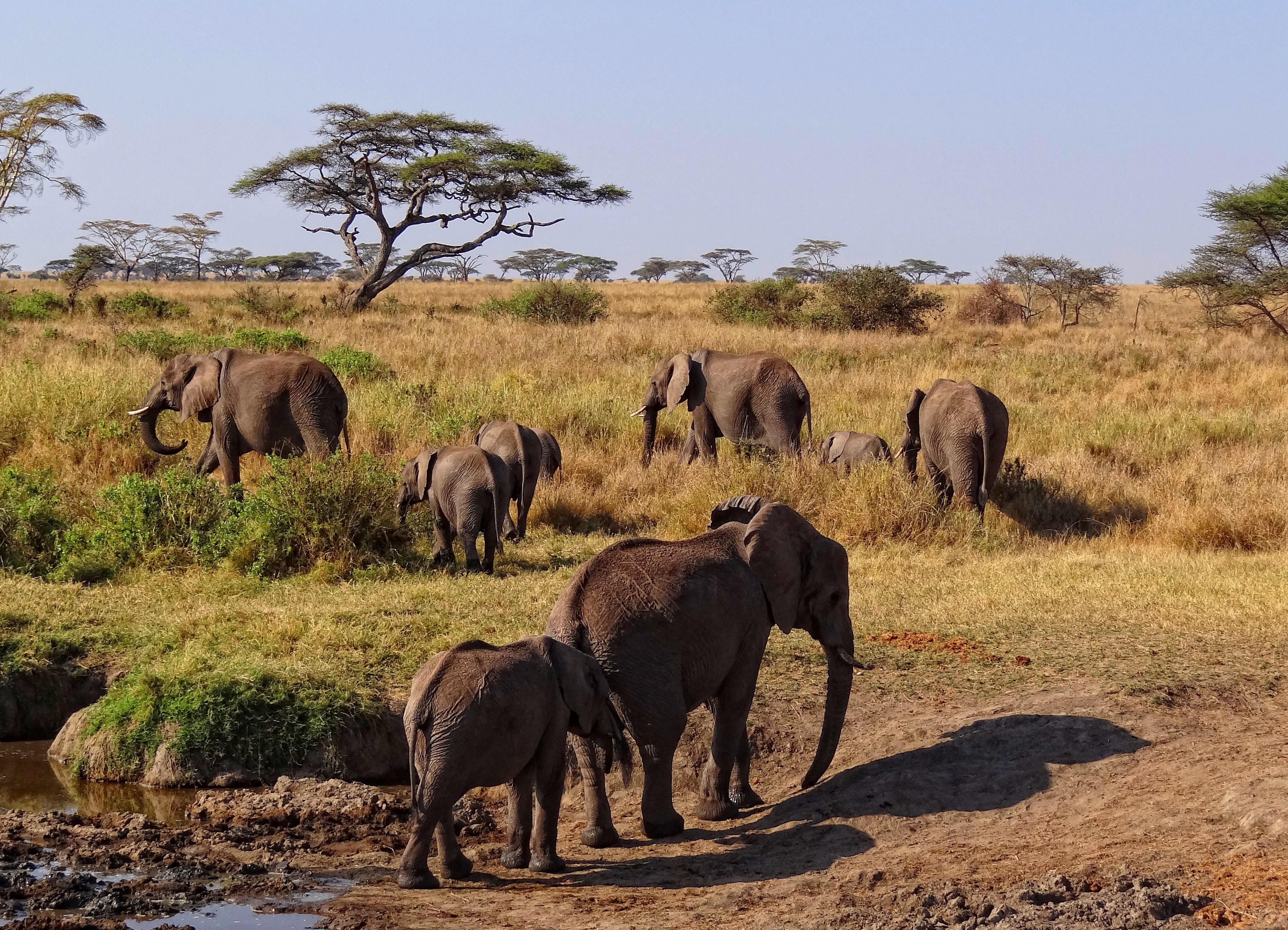 старший национальный парк серенгети фото быстрее найти