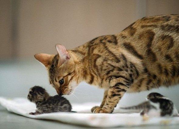 Сколько котят рожает кошка в первый раз