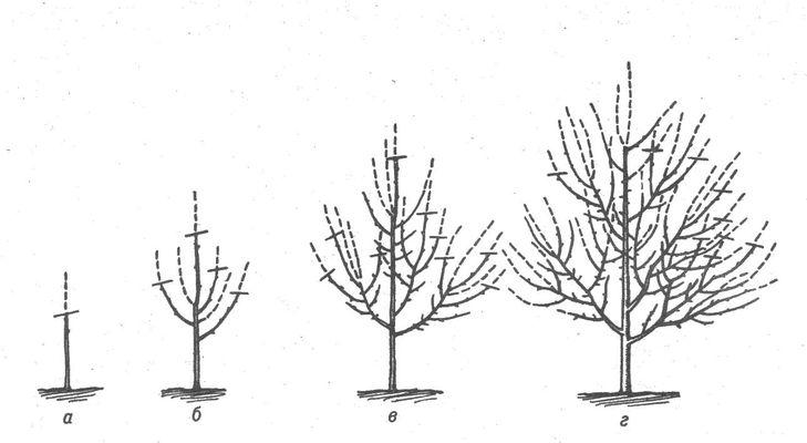 Обрезка груши осенью, весной, летом: как правильно обрезать 13