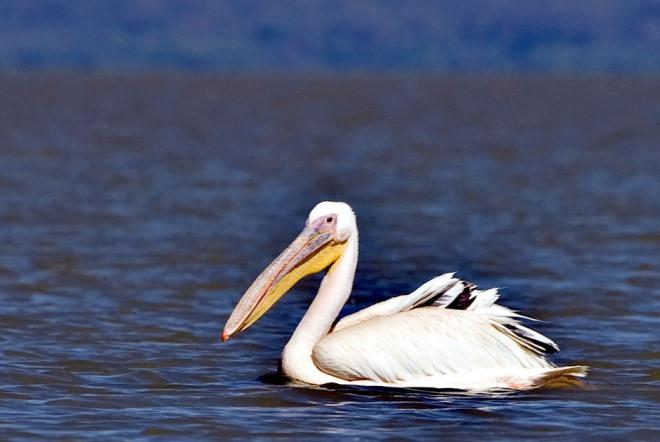 Пеликан с озера Тана