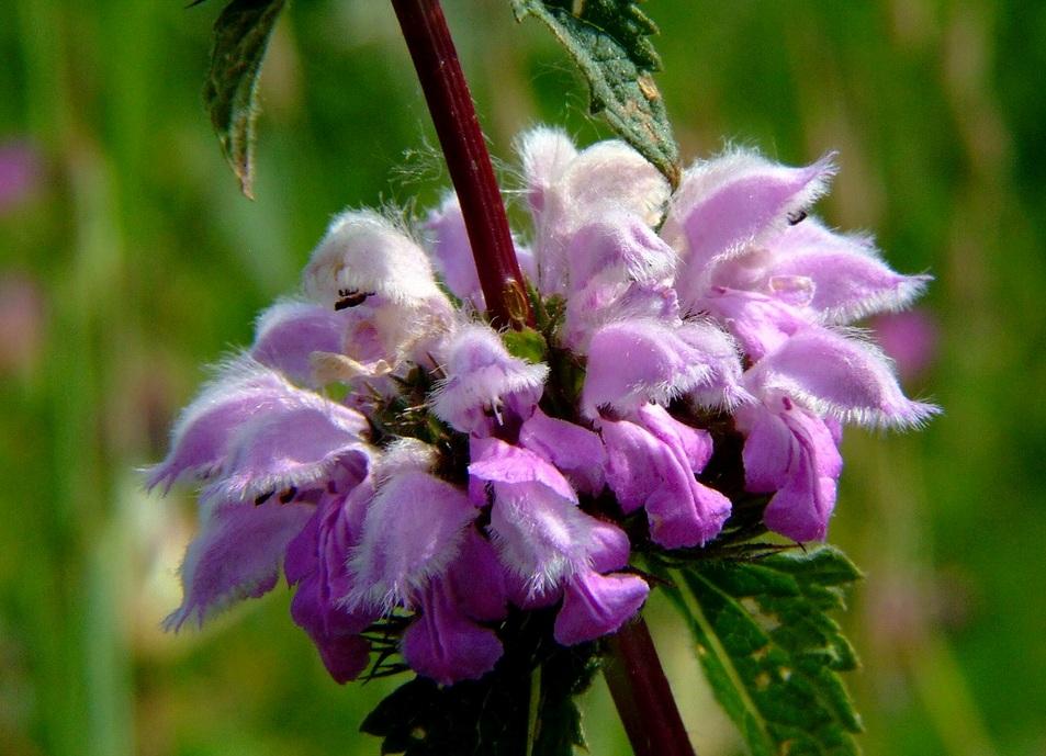 Трава железняк лечебные свойства